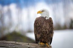 A beautiful bald eagle sitting on a tree