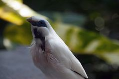 Beautiful bali starling royalty free stock photography
