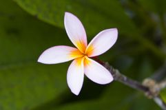 Beautiful Balinese Flower royalty free stock images