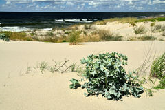 Beautiful baltic dunes Royalty Free Stock Photo