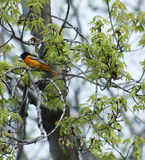Beautiful baltimore oriole Royalty Free Stock Photos