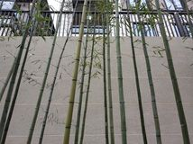 Beautiful bamboo background winter days. In front of the house color and clean royalty free stock photography