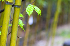 Beautiful bamboo branch in bamboo forest with beautiful green na. The beautiful bamboo branch in bamboo forest with beautiful green nature background Stock Photography
