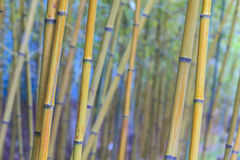 Beautiful bamboo branch in bamboo forest with beautiful green na. The beautiful bamboo branch in bamboo forest with beautiful green nature background Stock Photos