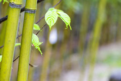 Beautiful bamboo branch in bamboo forest with beautiful green na. The beautiful bamboo branch in bamboo forest with beautiful green nature background Royalty Free Stock Images