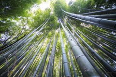 Beautiful Bamboo forest in Arashiyama at Kyoto Royalty Free Stock Photo