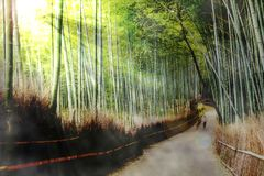 Beautiful of Bamboo Forest in Kyoto Japan. The Beautiful of Bamboo Forest in Kyoto Japan Stock Image
