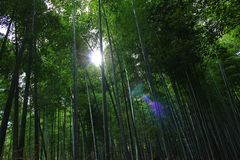 Bamboo forest in Japan. A beautiful bamboo forest in a sunny day in Japan Royalty Free Stock Photography