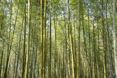 Beautiful bamboo forest in Taiwan Royalty Free Stock Photography