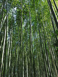 A beautiful bamboo grove in Kyoto, Japan. Looking up through a dense grove of timber bamboo in Kyoto, Japan Stock Photography