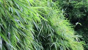 Beautiful Bamboo leaves moving and windy across swaying which green color in the nature forest.