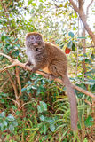 Beautiful bamboo lemur Stock Photo