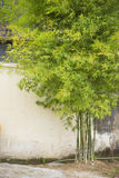 Beautiful bamboo tree in the house Royalty Free Stock Photography