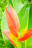 Beautiful banana flower Royalty Free Stock Images