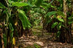 Beautiful bananas tropical forest at Maldives Royalty Free Stock Photos