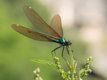 Beautiful  Banded Demoiselle& x28; Calopteryx splendens& x29; belonging to Stock Image