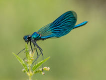 Beautiful Banded Demoiselle& X28; Calopteryx Splendens& X29; Belonging To Royalty Free Stock Images
