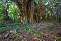Beautiful banyan tree Stock Photos