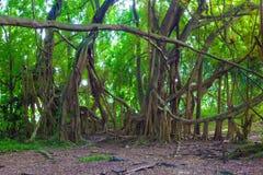 Beautiful banyan tree Stock Photography