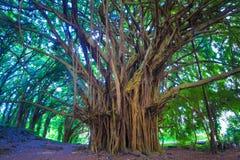 Beautiful banyan tree Royalty Free Stock Images