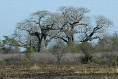 Beautiful baobab tree, Mozambique Royalty Free Stock Photos