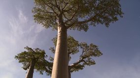 Beautiful Baobab trees at the avenue of the baobabs in Madagascar royalty free stock image