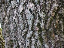 The beautiful  bark with green moss Stock Photo