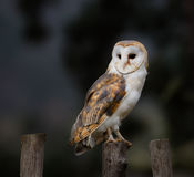 A beautiful barn owl, close-up. A beautiful barn owl perched on a wooden pale stock photography