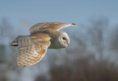 Beautiful barn owl royalty free stock photography
