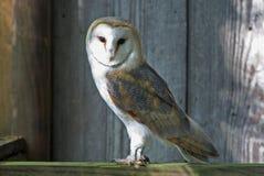 Beautiful Barn Owl Stock Images
