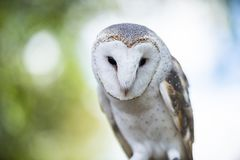 Beautiful Barn Owl. Outside in nature during the day royalty free stock photos