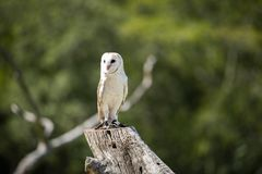 Beautiful Barn Owl. Outside in nature during the day royalty free stock images