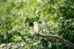 Beautiful Barn Owl. Outside in nature during the day royalty free stock photo