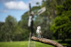 Beautiful Barn Owl. Outside in nature during the day stock photo