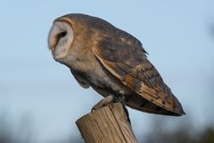 Barn owl perched on post with blue sky and greenery in the background. stock photo