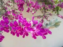 Beautiful Barometer Bush Royalty Free Stock Image
