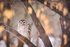 Free Beautiful Barred Owl Sitting On A Branch Royalty Free Stock Photos - 160067948