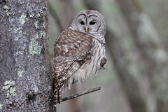 Beautiful Barred Owl. A beautiful barred owl Strix varia perching in the forest royalty free stock photography