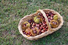 Beautiful basket full of chestnuts on the grass. stock photography