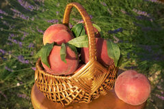 Beautiful basket with scented red peaches Stock Photos