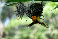 Beautiful basket weaver making a nest Stock Photography