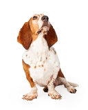 Beautiful Basset Hound Looking Up at Treat Stock Images
