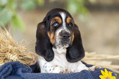 Beautiful Basset hound puppy with sad eyes sitting in a basket. Gentle and sweet Basset hound puppy with sad eyes sitting in a basket on the blanket. Copy space royalty free stock photos