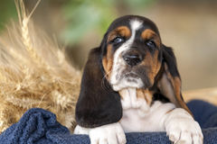 Beautiful Basset hound puppy with sad eyes is sitting on the bl. Close up beautiful Basset hound puppy with sad eyes is sitting in a basket on the blanket and royalty free stock image