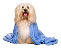 Beautiful bathed reddish havanese dog wrapped in a blue towel stock photo