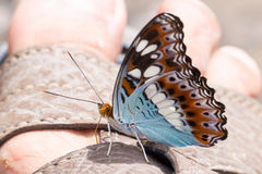 Beautiful battrefly Stock Images