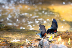 Beautiful battrefly. Beautiful butterfly in the waterfall,Thailand Stock Photography