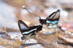 Beautiful battrefly. Beautiful butterfly in the waterfall,Thailand Stock Photos