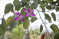 Beautiful bauhinia purpurea flower with rain drops. royalty free stock photo