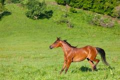 Beautiful bay Arab horse stock photo
